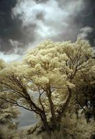 Infrared Tree II by DavidCraigEllis