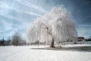 .: White Willow :. by DavidCraigEllis