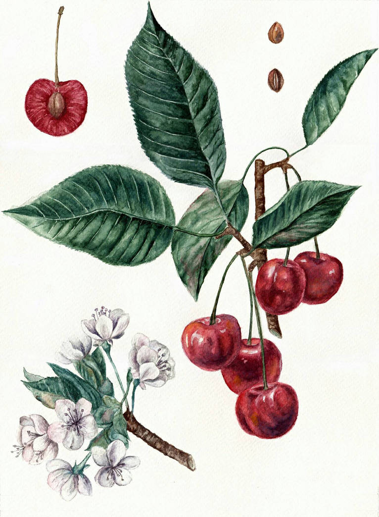 Cherry Botanical Art by AnnaShell