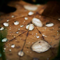 Drops on oak leaf by StephanePellennec
