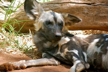 African Wild Dog by feetpeet