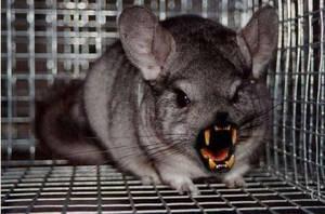 evil chinchilla by whenweawake