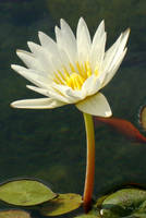 White Waterlily by SiberianClover-Stock