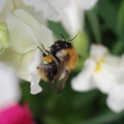 bumblebee by Hamanic