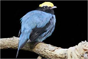 Birdy in Blue by Velvet-Paw