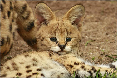 Big Ears, Bright Eyes by Velvet-Paw