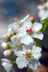 Apple Blossoms 2 by baruch60610