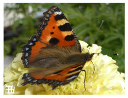 Butterfly by griffsnuff