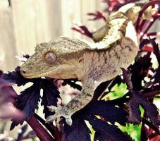 Crested Gecko by duckey5
