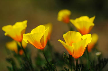 Golden Poppies by greglief