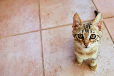 pitiful kitten by killcom