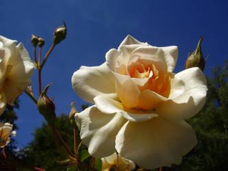 Rose by InfamousAficionado