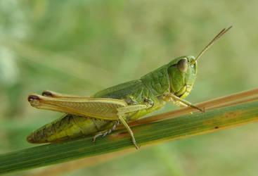 Grasshopper by DreamingRabit