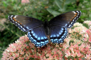 Red Spotted Purple 06 by Thy-Darkest-Hour