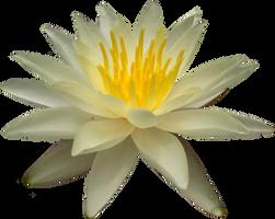 Waterlilly PNG by Thy-Darkest-Hour