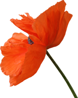 Poppy PNG 06 by Thy-Darkest-Hour