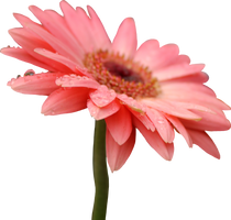 Pink Gerber Daisy PNG by Thy-Darkest-Hour