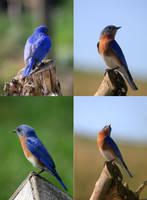 Eastern Bluebird Pack 01 by Thy-Darkest-Hour