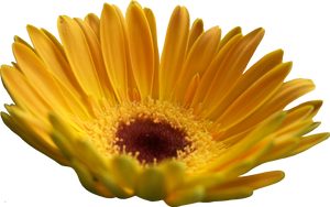 Yellow Gerber Daisy by Thy-Darkest-Hour