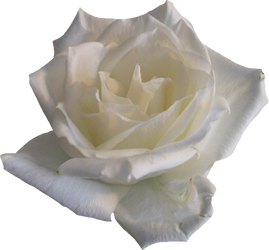 White Rose 02 PNG by Thy-Darkest-Hour
