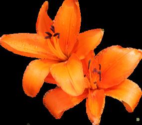Orange Lilly 02 by Thy-Darkest-Hour