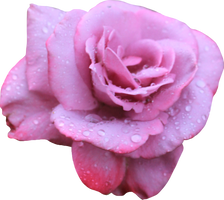 Lavendar Rose 02 PNG by Thy-Darkest-Hour