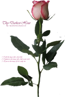 Pink Long-Stemmed Rose by Thy-Darkest-Hour