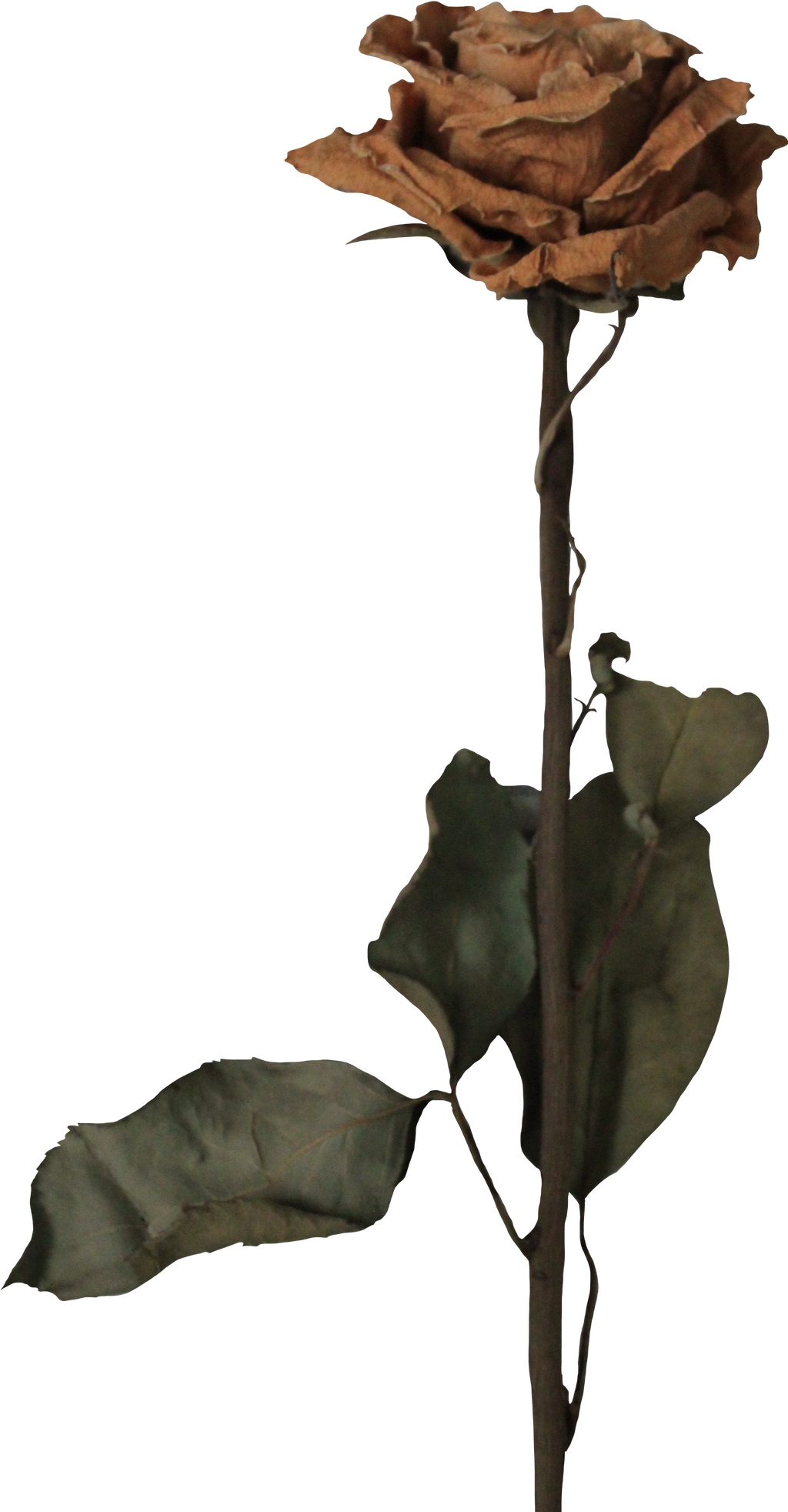 Withered Rose by Thy-Darkest-Hour