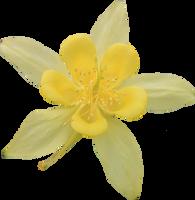 Yellow Colombine by Thy-Darkest-Hour