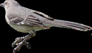Mockingbird PNG 01 by Thy-Darkest-Hour