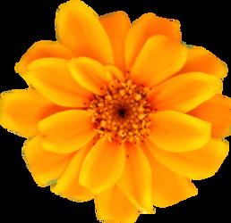 Yellow Orange Persian Zinnia by Thy-Darkest-Hour