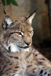 Lynx by cjchmiel