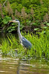 Grey Heron by cjchmiel