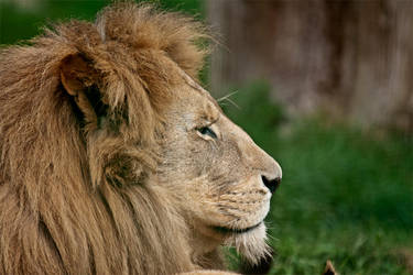 Lion Head by cjchmiel
