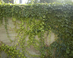 Ivy Wall by SeraphimStock