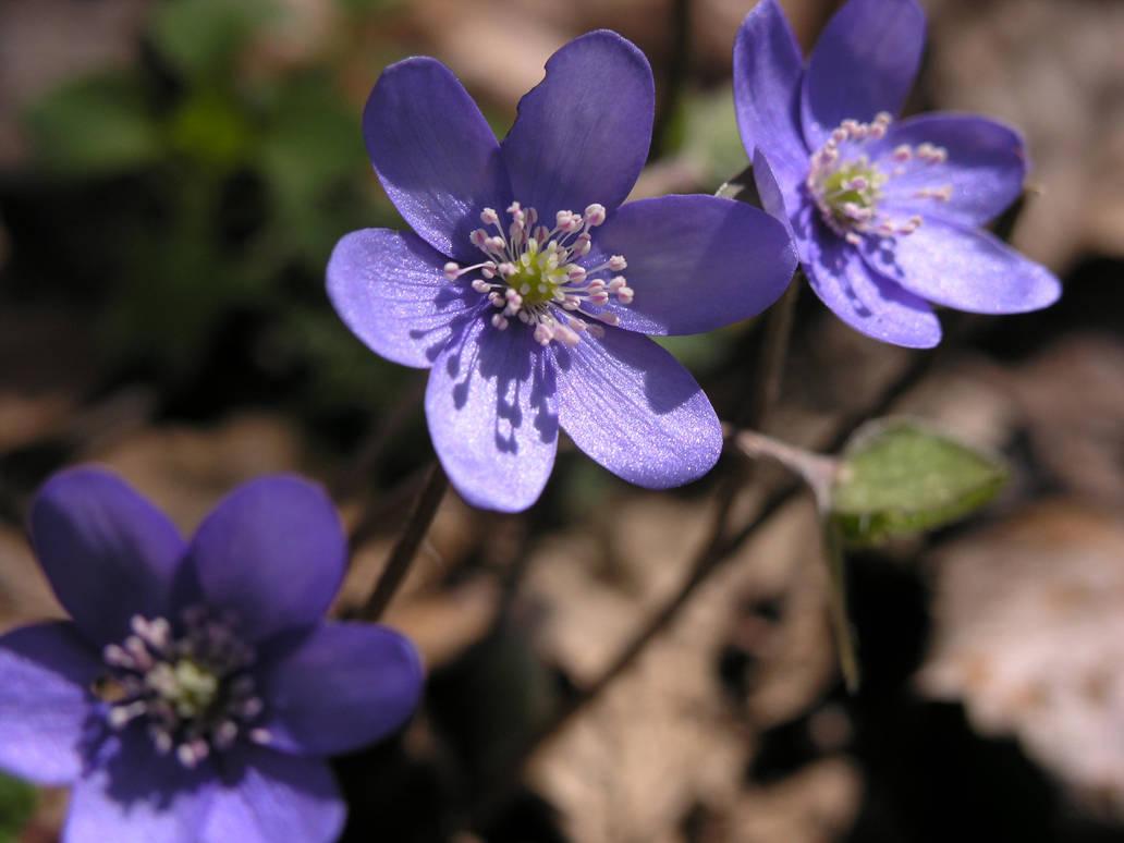 Spring Little Purple Flowers By Kinderitza On Deviantart