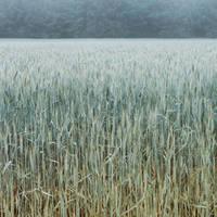 Wheat by minahzframez