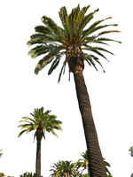 Palm Tree Tube Stock II PNG by digitaltwist