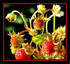 Wild Strawberrys.... by Pjharps