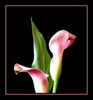Purple Lilly.... by Pjharps