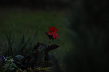 Red Flower by Kurai-no-Manazashi
