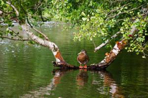 Week 34 - duck by Finsternisss