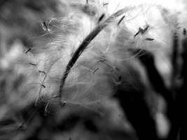 Fairy Seeds in black and white by DanaVarahi
