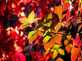 Five Leafed Ivy by DanaVarahi