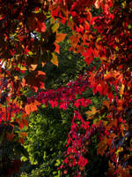 Five Leafed Ivy 2 by DanaVarahi