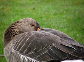 Pinkfooted Goose by DanaVarahi