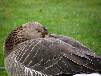 Pinkfooted Goose by DanaVarahi