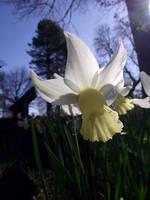Narcissus pseudonarcissus by DanaVarahi
