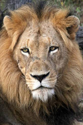 Wild African Lion by I-Heart-Photos