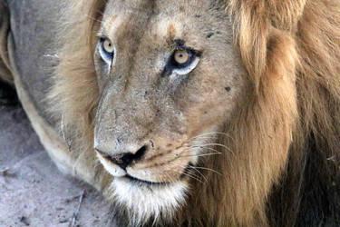 Lion on Safari by I-Heart-Photos